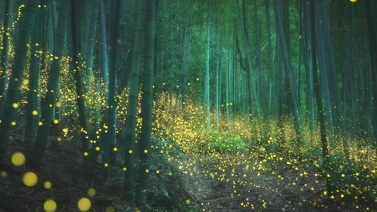 Lenyűgöző fotókon egy japán erdő szentjánosbogarainak fénytánca