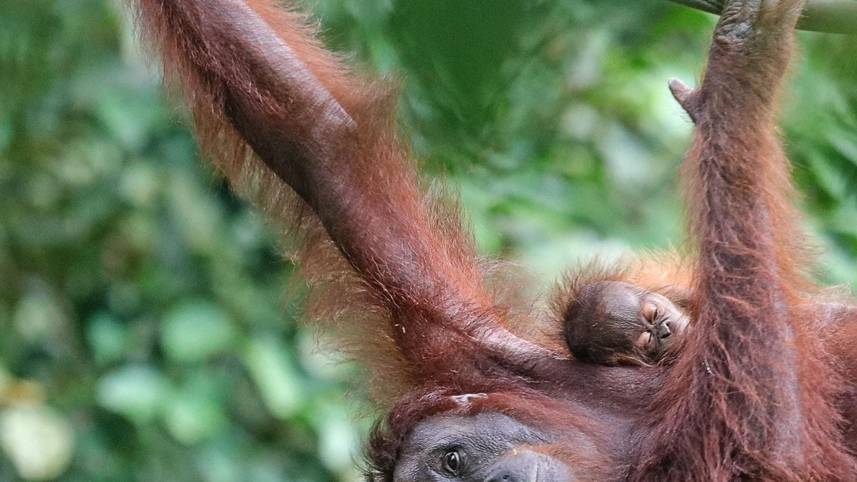 Az olajpálmák pusztítása miatt árván maradt orangutánbébiket nevel ez a malajziai bölcsőde